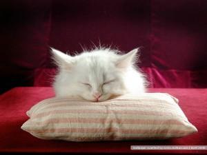 Wallpaper – spící kočka